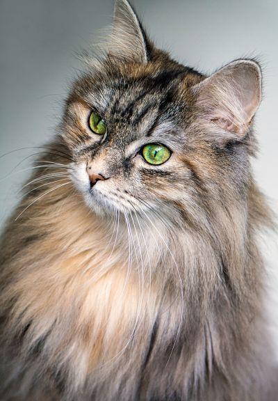 Cómo reconocer el sexo de un gato