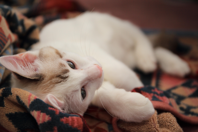 Una afección común en gatos mayores :  artrosis