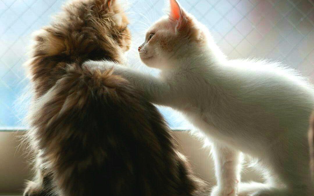 Ya tengo una gato…¿cómo adapto un nuevo gato?