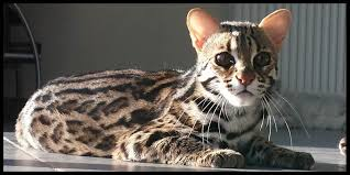 5 Razas de gatos hipoalergérnicos…¿ Las conocías?