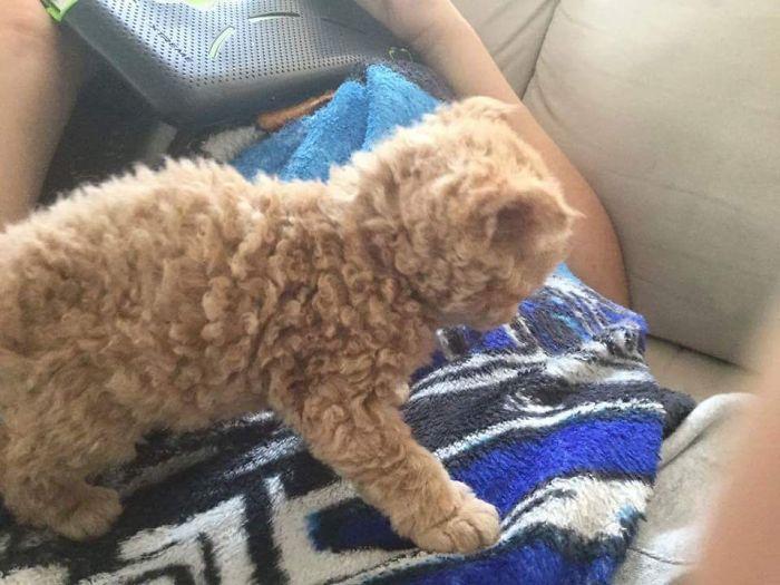 ¿ Conoces a los Selkirk Rex, los gatos de pelaje rizado?
