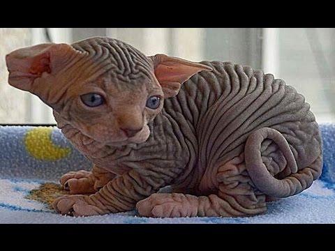 10 Razas De Gatos Que NO Creerás Que Existen