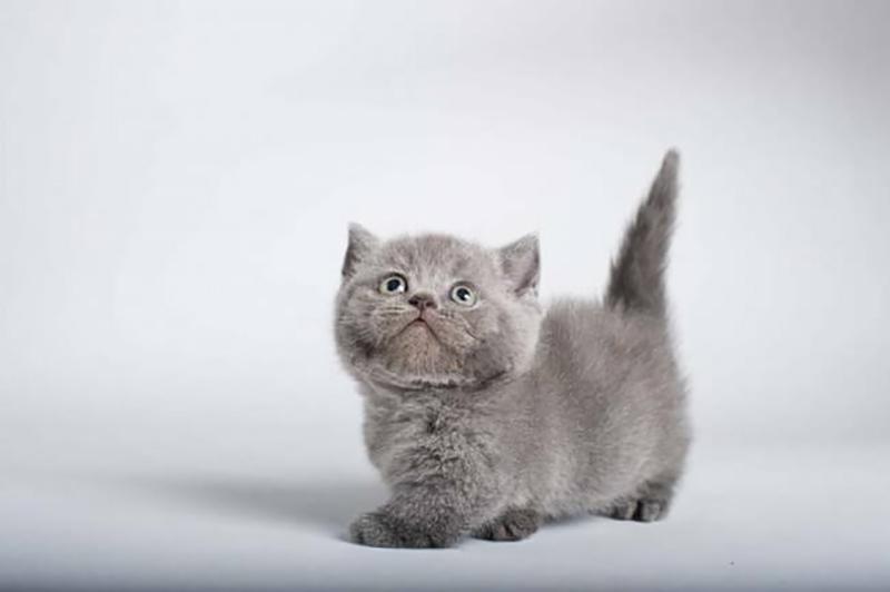 5 imàgenes de los  gatos Munchkin ¿Los conoces?