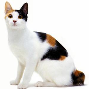Raza de gatos: Gato rabón japonés