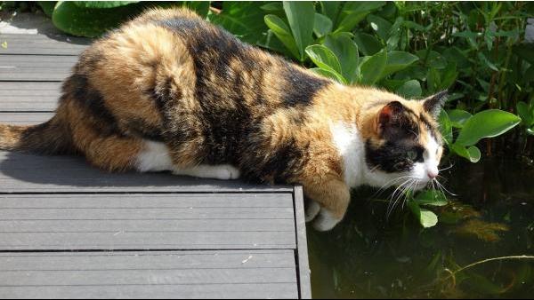¿ Conoces a la raza más sociable de gatos?