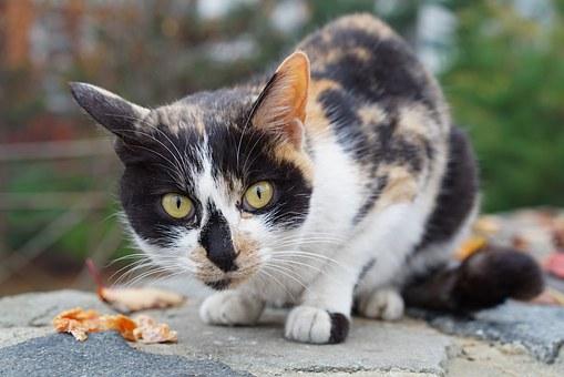 3 colores en el pelaje de los gatos, ¿significa que son hembras?