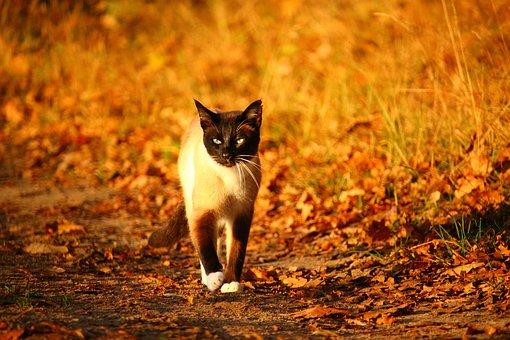 Raza de gatos: Siamés