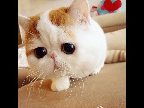 ¿Còmo tratar a un gato dibètico?