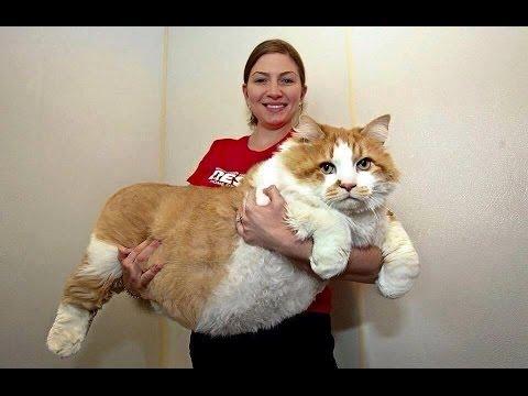 Los gatos mas grandes del mundo | Gatos domésticos Gigantes
