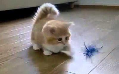 Paràsitos en gatos : Àcaros,sìntomas tratamiento y contagio