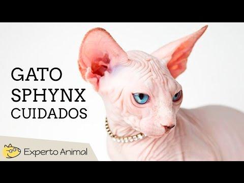 Cuidados del gato shpynx o esfinge