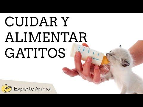 Cómo alimentar y cuidar gatos recién nacidos