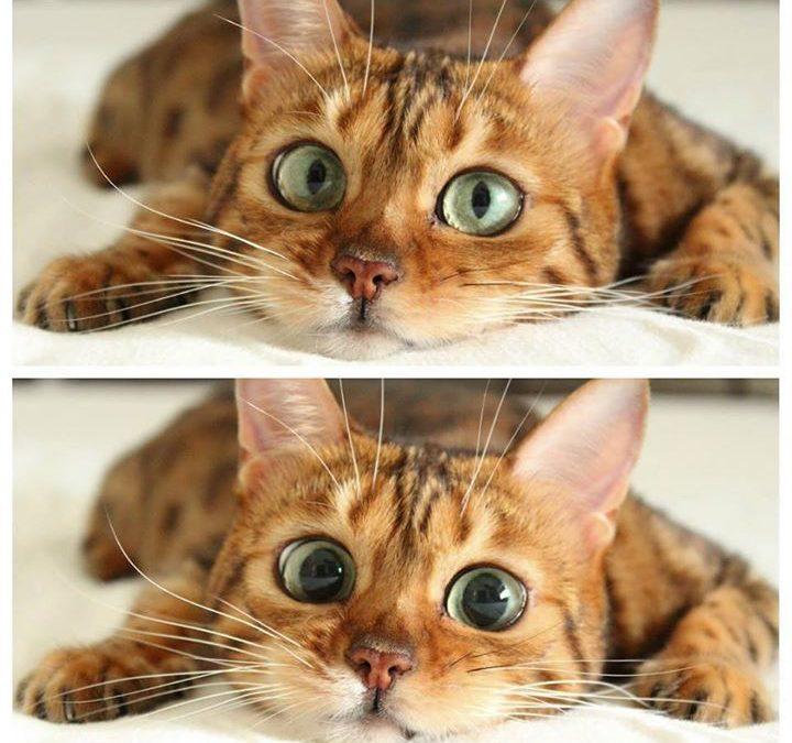 5 Causas por las cuales tu gato puede tener secreciones en los ojos