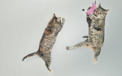 El juego en los gatos
